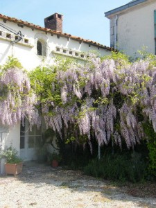 Les Boulins - The wisteria blooming in the spring