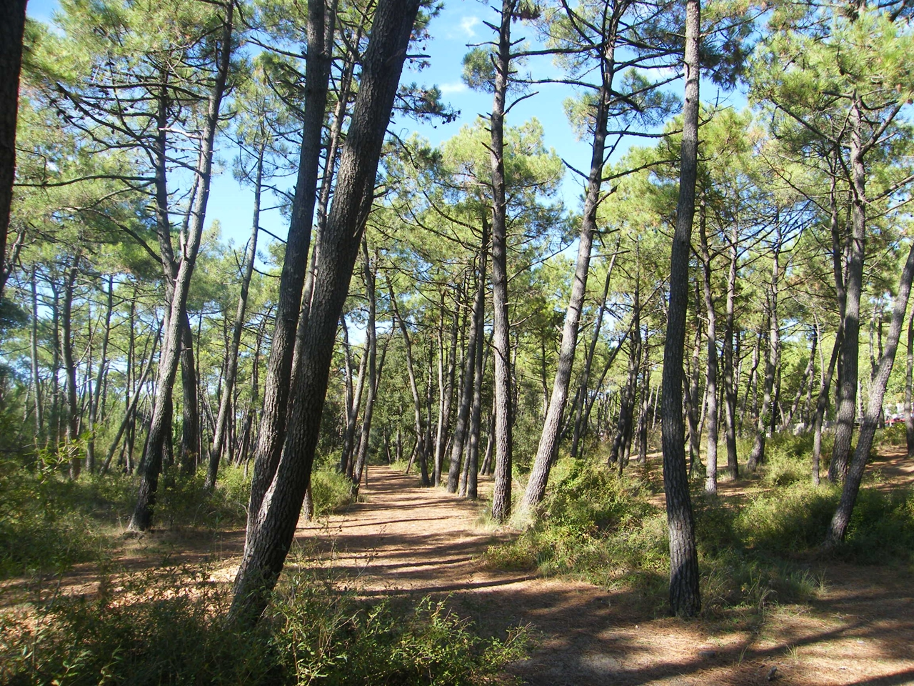 The sandy pine forests behind the dunes at La Faute